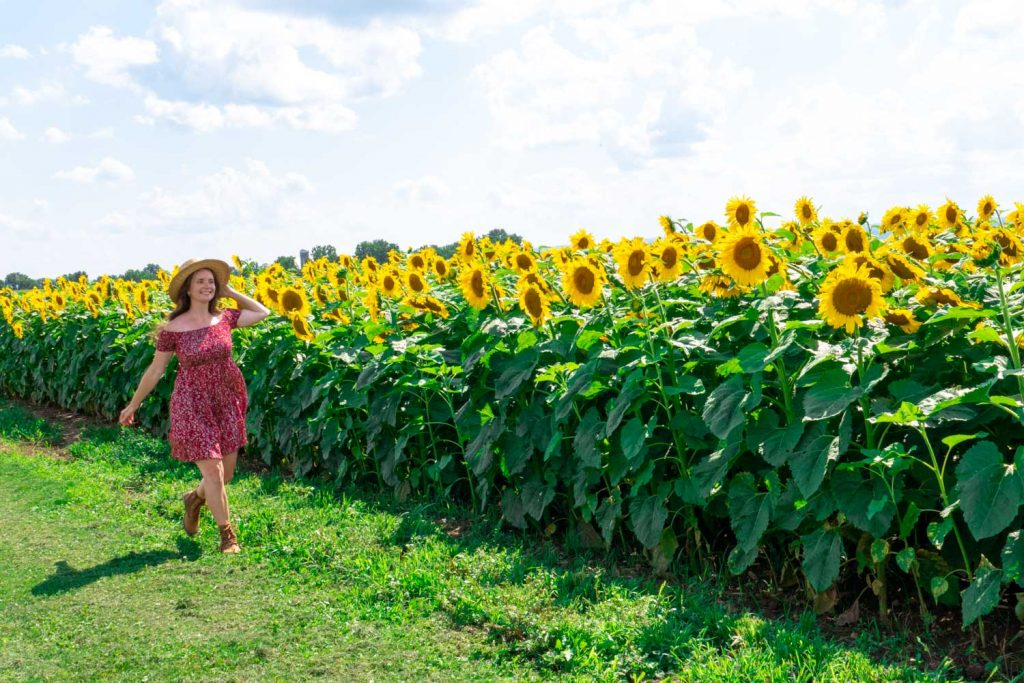 sun flower fields Finger Lakes New York