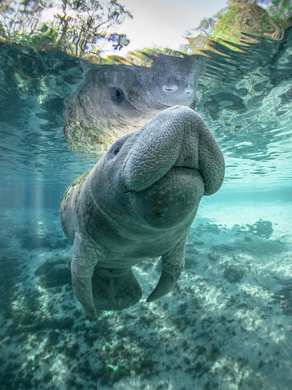 Manatee Crystal River